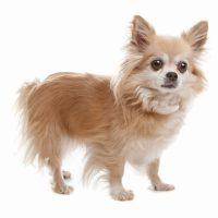 Chihuahua Longcoat