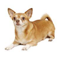 Chihuahua smoothcoat