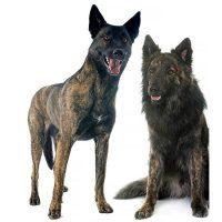 Dutch Shepherd Dog