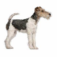 Fox Terrier Wirecoat