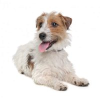 Jack Russell Terrier Wirehaired