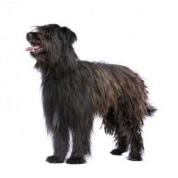 Pyrenean Sheepdog Longhaired
