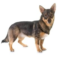 Sweedish Vallhund